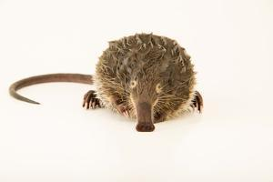 A Pyrenean desman, Galemys pyrenaicus, from the wild in Portugal. by Joel Sartore