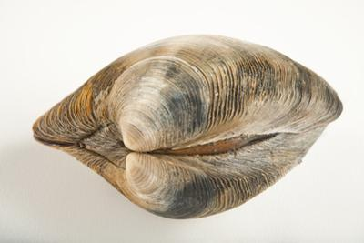 A Quahog or Hard Clam, Mercenaria Mercenaria, in Seaside Park, New Jersey. by Joel Sartore