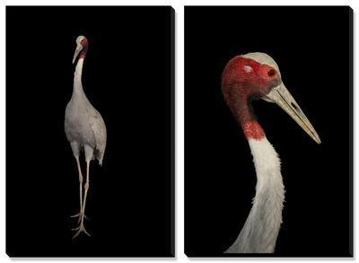 A Rare Indian Sarus Crane (Grus Antigone Antigone)