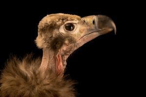 A Red Headed Vulture, Sarcogyps Calvus, at Parco Natura Viva by Joel Sartore