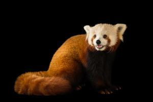 A red panda, Ailurus fulgens fulgens, at the Lincoln Children's Zoo. by Joel Sartore