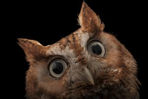 A Red Phased Eastern Screech Owl, Megascops Asio, at the Audubon Center for Birds of Prey. by Joel Sartore