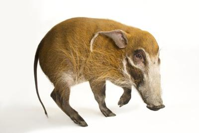 A Red River Hog, Potamochoerus Porcus, at the Cincinnati Zoo.