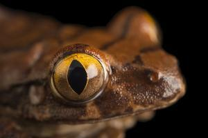A red tree frog, Leptopelis rufus, from the wild. by Joel Sartore