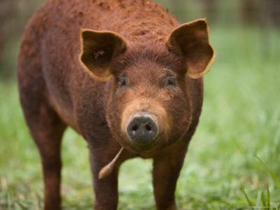 A Red Wattle Pig on a Farm in Kansas by Joel Sartore