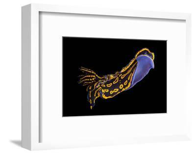 A Regal Goddess Nudibranch at Pure Aquariums from the Gulf Specimen Marine Lab