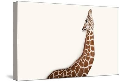 A Reticulated Giraffe at Rolling Hills Wildlife Adventure Near Salina, Kansas