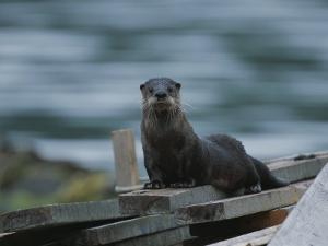 A River Otter Perched on Planks of Wood in Knight Inlet by Joel Sartore