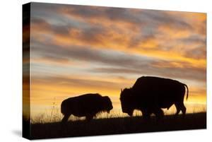 A Silhouette of a Herd of Bison by Joel Sartore