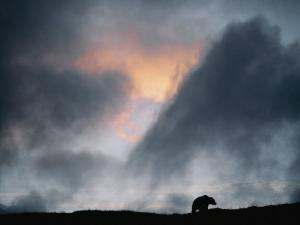 A Silhouetted Grizzly Bear Appears against a Twilight Sky by Joel Sartore