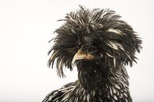 A silver crested Polish chicken, Gallus gallus domesticus, at the Knoxville Zoo. by Joel Sartore