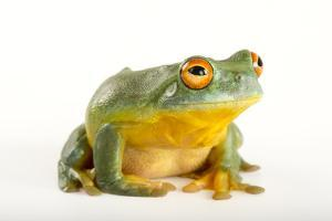 A Southern Orange-Eyed Tree Frog, Litoria Chloris, at the Wild Life Sydney Zoo by Joel Sartore