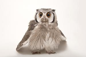 A Southern White-Faced Scops Owl, Ptilopsis Granti, at the Houston Zoo. by Joel Sartore