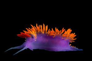 A Spanish shawl nudibranch at the University of California, Santa Barbara. by Joel Sartore