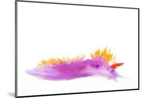A Spanish Shawl Nudibranch, Flabellina Iodinea. by Joel Sartore