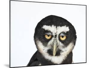 A Spectacled Owl, Pulsatrix Perspicillata, at the New York State Zoo by Joel Sartore