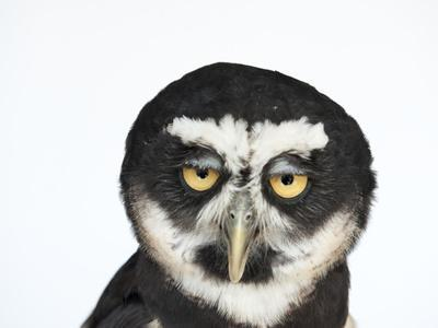 A Spectacled Owl, Pulsatrix Perspicillata, at the New York State Zoo