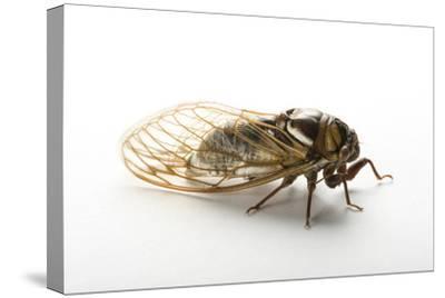 A Studio Portrait of a Bush Cicada, Tibicen Dorsatus.