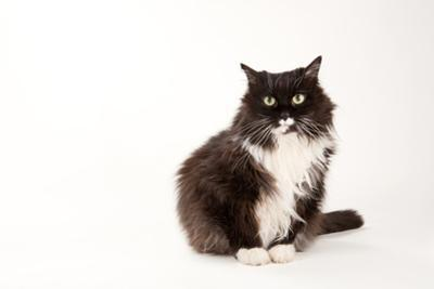 A Studio Portrait of a Domestic House Cat by Joel Sartore