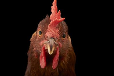 A Studio Portrait of a New Hampshire Red Hen