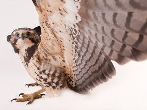 A Swainson's Hawk, Buteo Swainsoni by Joel Sartore