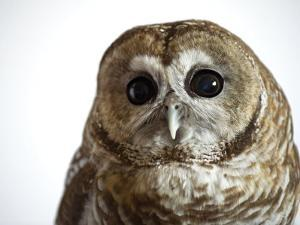 A threatened Mexican spotted owl by Joel Sartore