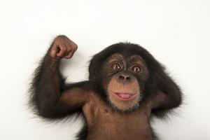 A Three-Month-Old Baby Chimpanzee, Pan Troglodytes by Joel Sartore