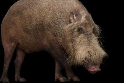 A Vulnerable Bearded Pig, Sus Barbatus, at the Gladys Porter Zoo. by Joel Sartore