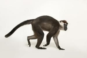 A Vulnerable Red Capped Mangabey, Cercocebus Torquatus, at the Houston Zoo by Joel Sartore