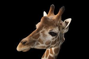 A Vulnerable Reticulated Giraffe, Giraffa Camelopardalis Reticulata. by Joel Sartore