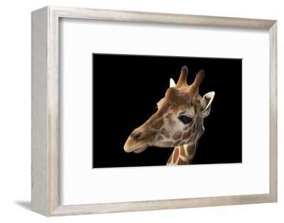 A Vulnerable Reticulated Giraffe, Giraffa Camelopardalis Reticulata.