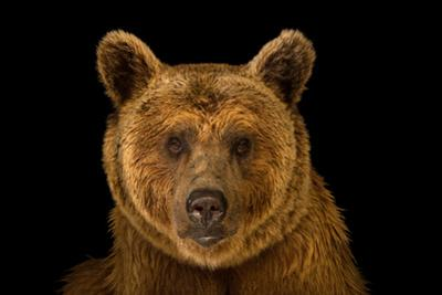 A Vulnerable Syrian Brown Bear, Ursus Arctos Syriacus, at the Budapest Zoo.