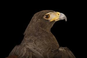 A Western Harris' Hawk, Parabuteo Unicinctus Superior, at the Living Desert in Palm Desert, Califor by Joel Sartore