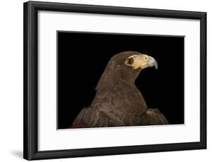 A Western Harris' Hawk, Parabuteo Unicinctus Superior, at the Living Desert in Palm Desert, Califor by Joel Sartore
