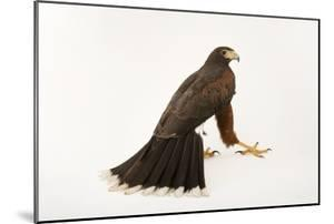 A Western Harris Hawk, Parabuteo Unicinctus Superior, at the Living Desert in Palm Desert, Californ by Joel Sartore