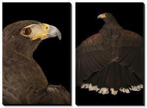 A Western Harris' Hawk (Parabuteo Unicinctus Superior) in Palm Desert, California by Joel Sartore