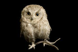 A Western Screech Owl, Sonoran Desert Colorphase (Otus Kennicottii). by Joel Sartore