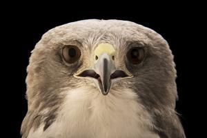 A white tailed hawk, Geranoaetus albicaudatus hypospodius by Joel Sartore
