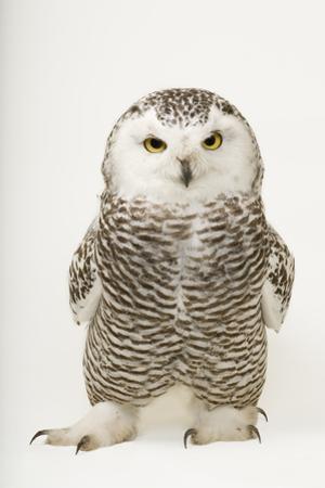 A Young Female Snowy Owl, Bubo Scandiacus. by Joel Sartore