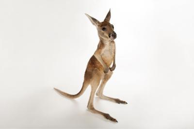 A Young Red Kangaroo, Macropus Rufus, at Rolling Hills Wildlife Adventure.