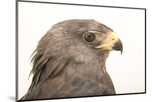 A zone tailed hawk, Buteo albonotatus by Joel Sartore