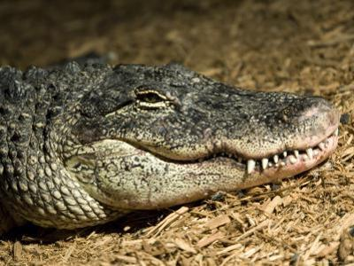American Alligator Shows his Teeth as He Lays on Wood Chips, Henry Doorly Zoo, Nebraska by Joel Sartore