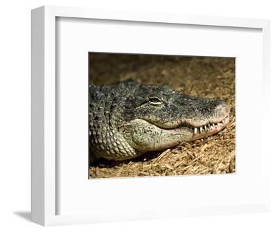 American Alligator Shows his Teeth as He Lays on Wood Chips, Henry Doorly Zoo, Nebraska
