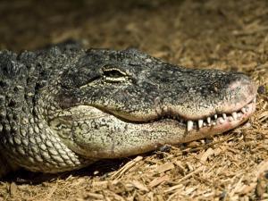 American Alligator Shows his Teeth as He Lays on Wood Chips, Henry Doorly Zoo, Nebraska by Joel Sartore