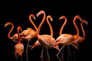 American Flamingos, Phoenicopterus Ruber, at the Lincoln Children's Zoo. by Joel Sartore