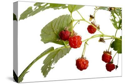 American Red Raspberries, Rubus Strigosus