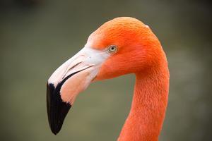 An American Flamingo, Phoenicopterus Ruber, at Sylvan Heights Bird Park by Joel Sartore