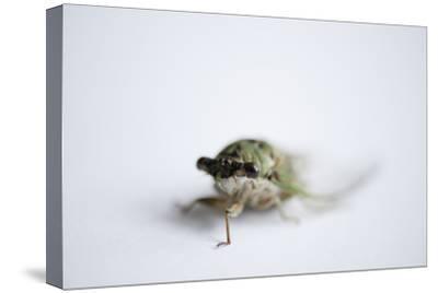 An Annual Cicada or Dog-Day Cicada, Tibicen Canicularis.