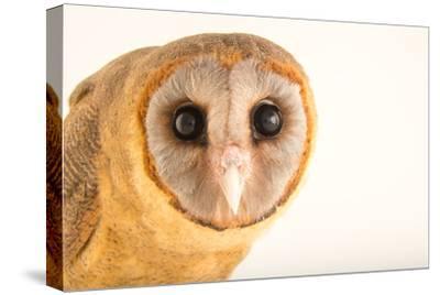 An Ashy Faced Owl, Tyto Glaucops, at Parque Zoologico Nacional