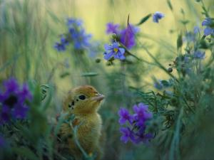 An Attwaters Greater Prairie Chick Surrounded by Wildflowers by Joel Sartore